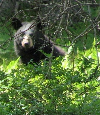 Black Bear looking through trees and bushes - head shot
