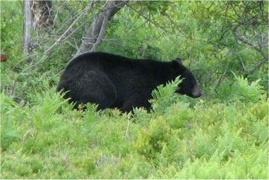 Right Profile - A Black Bear walking through a forrested area