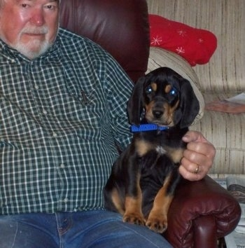 Rowdy the Black and Tan Coonhound puppy sitting on the lap of a man on a leather recliner