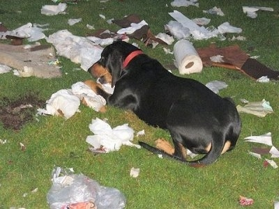 Rowdy the Black and Tan Coonhound laying in the yard chewing up a bunch of trash