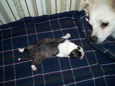 Topdown view of a newborn Boskimo puppy that is laying across a blanket. To the right is a American Eskimo dog that is looking at the puppy.