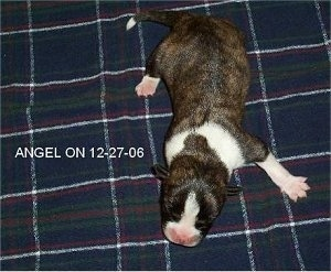Topdown view of a brindle with white Boskimo puppy that is laying on a blanket. Overlaid on the left side of the image are the words 'ANGEL 12-27-06'