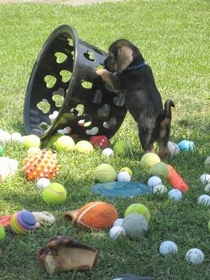 Buster the Bowser puppy pushing over a basket with a bunch of ball toys scattered all over the grass