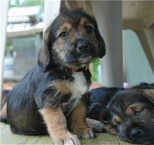 The front right side of a black with tan Bowser puppy that is sitting on a wooden porch and to the right of it is a sleeping Bowser puppy. They are on a wooden porch.