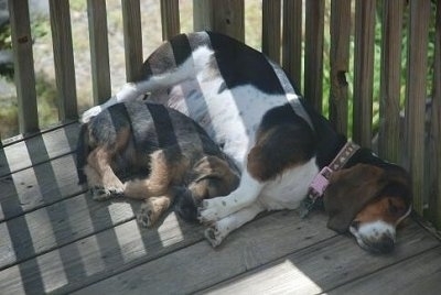 Bowzer Puppy and a Basset Hound sleeping together on a wooden deck
