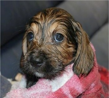 Close Up - A wet black with tan Bowser puppy is wrapped in a towel and it is looking up.