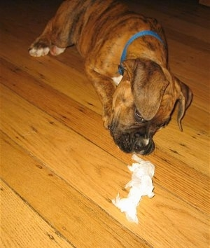 Bruno the Boxer Puppy playing with paper he got out of the trash