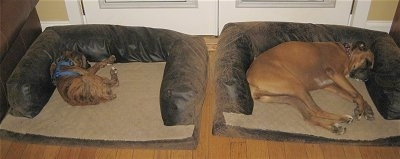 Bruno and Allie the Boxers Sleeping on the Dog Beds