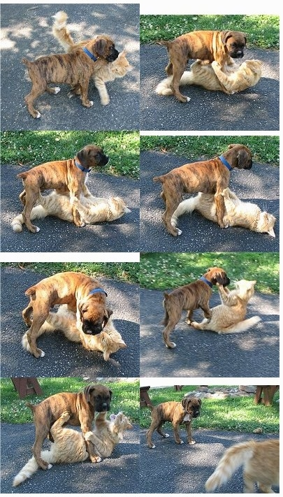 Bruno the Boxer and Waffle the Cat playing in a compilation of pictures