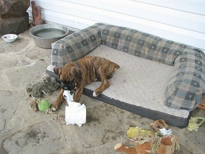 Bruno the Boxer chewing on paper in his outdoor dog bed on the porch