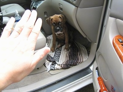 Bruno the Boxer Puppy sitting in the front seat of a van with a hand notifying him to stay