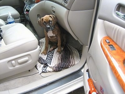 Bruno the Boxer puppy sitting on the floor in front of the passenger seat in a van