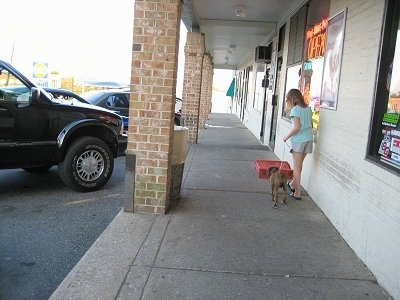 Bruno the Boxer Puppy taking a walk at a shopping center