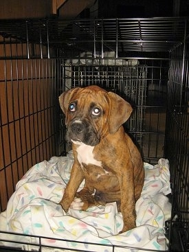 Bruno the Boxer Puppy sitting in a bigger crate.