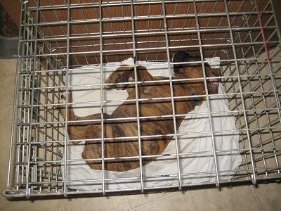 Bruno the Boxer Puppy laying in a small crate