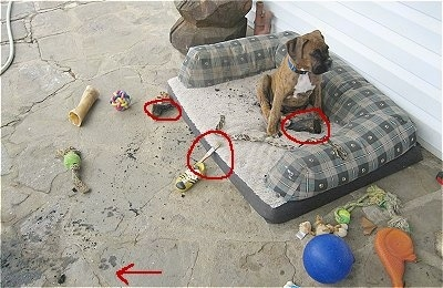 Bruno the Boxer puppy with ash, logs and a paint brush circled around him