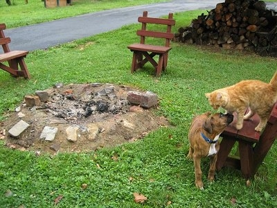 Bruno the Boxer puppy standing next to a fire pit looking up at an orange cat who is on a bench