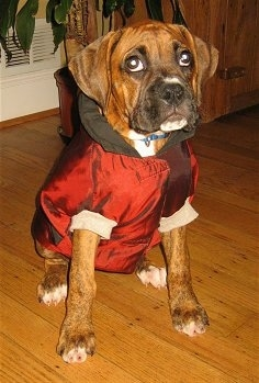 Bruno the Boxer Puppy wearing a jacket sitting on a hardwood floor