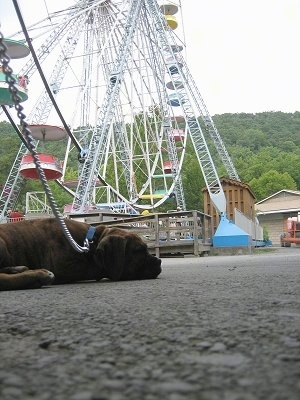 Bruno the Boxer puppy laying on the ground with a ferris wheel in the background