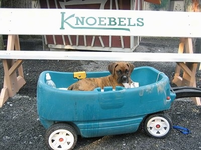 Bruno the Boxer Puppy laying in a wagon under a bench that has the word 'KNOEBELS' on it