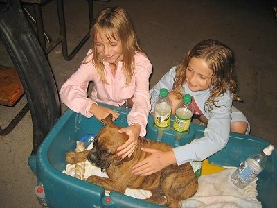 Bruno the Boxer Puppy laying in the wagon being pet by two little girls