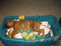 Bruno the Boxer Puppy sleeping in a wagon on a blanket next to bottles of Tropicana Lemonade