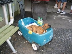 Bruno the Boxer Puppy sleeping in a wagon