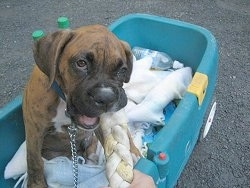 Bruno the Boxer Puppy sitting in a wagon playing with a rope raw hide
