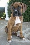 Bruno the Boxer as a Puppy is sitting on a stone surface