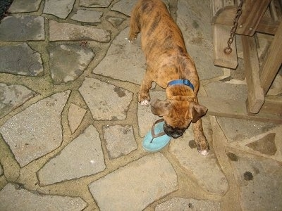 Bruno the Boxer Puppy carrying a flip flop across the stone porch