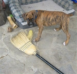 Bruno the Boxer standing next to a broom that he chewed on
