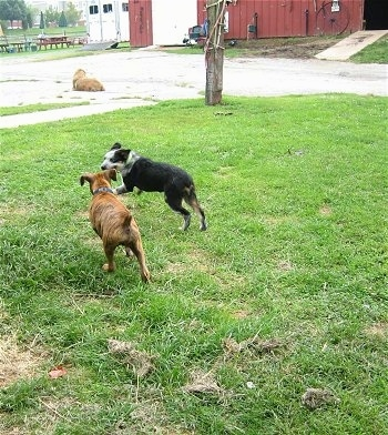 Bruno the Boxer puppy playing with Dean the Texas Heeler who are both running