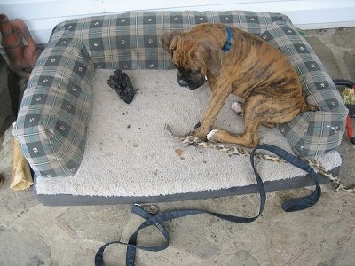 Bruno the Boxer dog sitting in the dog bed next to the cheetah-spotted cat toy and a burt piece of wood