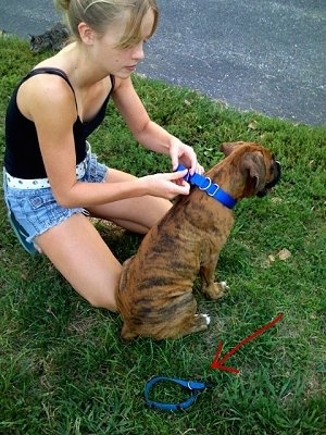 Amie placing a new collar on Bruno the Boxer puppy
