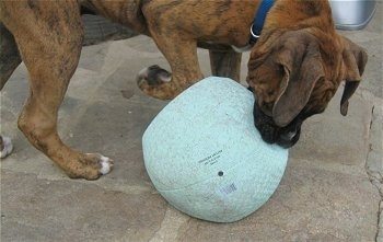 Bruno the Boxer with a popped ball