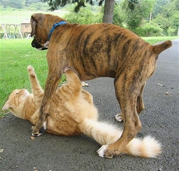 Waffles the Cat on his back getting rolled by Bruno the Boxer