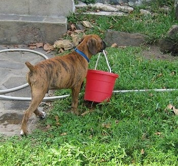 Bruno the Boxer Puppy carrying a red bucket across the lawn