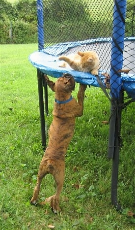 Waffles the Cat pawing at Bruno the Boxer puppy from a trampoline