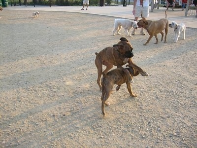 Two brown dogs are playing with each other in the middle of a dirt field. There are three dogs standing behind them.