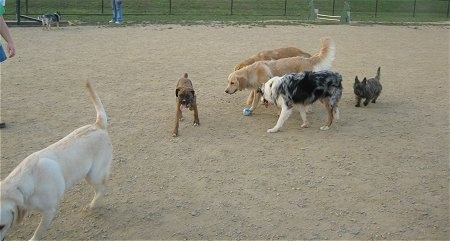 A group of dogs are playing in a dirt field.