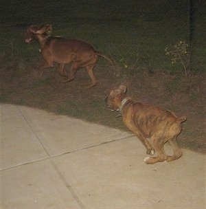 Bruno the Boxer chasing Jackson the Vizsla