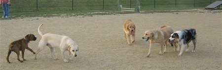 Four dogs are walking towards a fifth dog that has a ball in its mouth