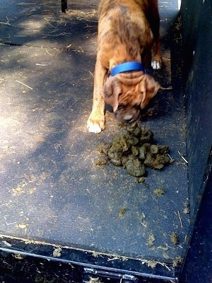 Bruno the Boxer Pup Eating Horse Manure