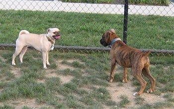 A brindle brown Boxer is standing across from a tan Puggle and they are making eye contact.