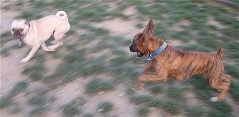 A tan Puggle is running away from a brown brindle Boxer.