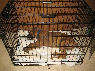 Bruno the Boxer Puppy laying in the crate he has outgrown