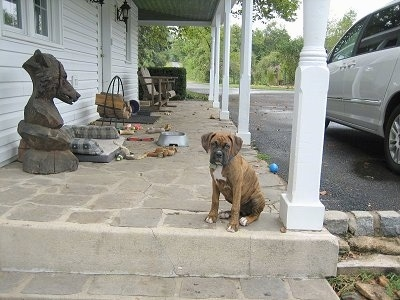 Bruno the Boxer puppy sitting on the edge of a stone porch looking at the camera holder