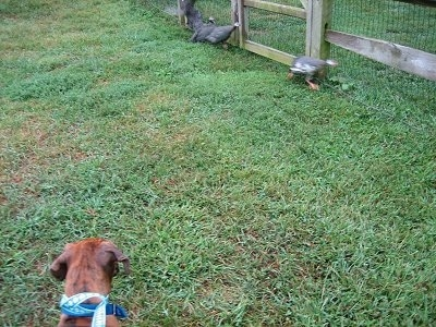 Bruno the Boxer puppy looking at Guinea Fowl