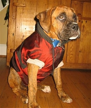 Bruno the Boxer wearing a red hooded jacket sitting on a hardwood floor