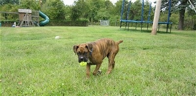 Bruno the Boxer puppy walking across the grass with a tennis ball in his mouth